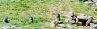 image colonie de marmottes près de leur terrier
