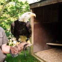 aigle sur le poing d'un fauconnier
