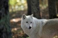 image loup arctique forêt automne visite parc animalier courzieu