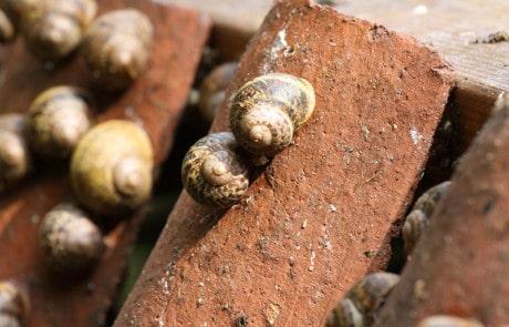 escargots dans leur coquille