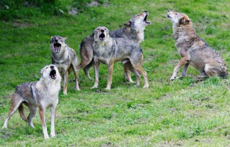 hurlement de la meute de loups gris au parc de courzieu france