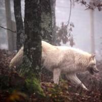 image loup arctique dans la forêt
