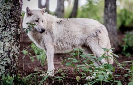 loup arctique parc de courzieu forêt