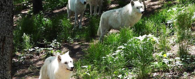 meute loups arctiques parc de courzieu