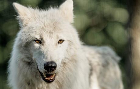 portrait loup arctique du parc animalier de courzieu