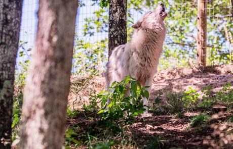 loup arctique parc de courzieu monts du lyonnais