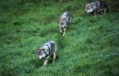 """loups gris dans l""""herbe au parc de courzieu rhône"""