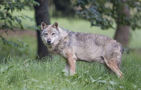 loup gris dans l'herbe parc de courzieu