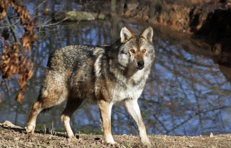loup gris dans la vallée du parc de courzieu