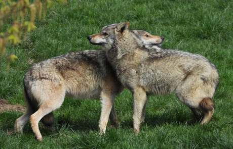 couple de loups gris au parc de courzieu en france