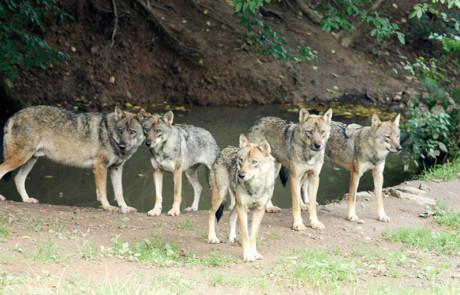 meute de loups gris près d'une source au parc de courzieu france