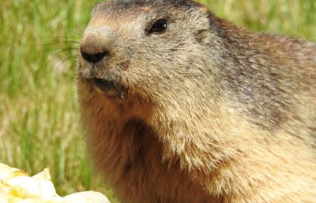 nourrissage des marmottes parc de courzieu