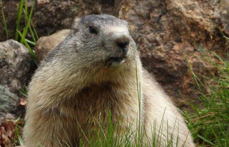 marmotte assise dans l'herbe parc de courzieu