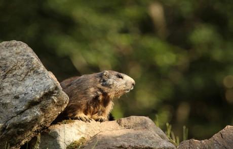 marmotte couchée sur un rocher