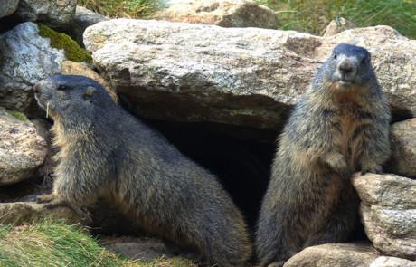 marmottes devant leur terrier