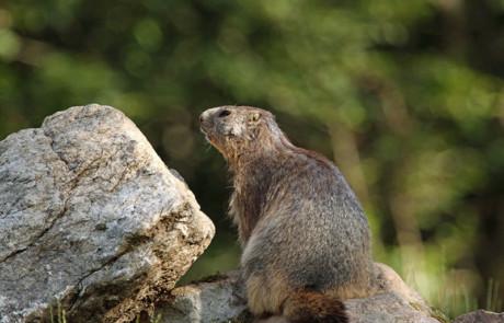 marmotte sur son rocher