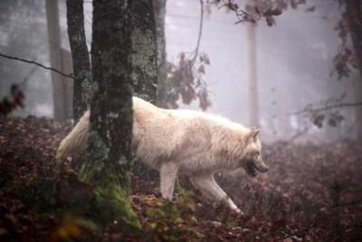 image loup blanc dans la forêt hiver