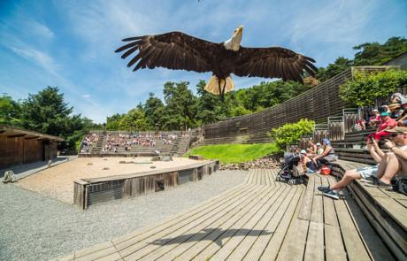 aigle en vol libre spectacle oiseaux parc de courzieu