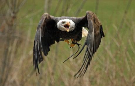 aigle ailes repliées