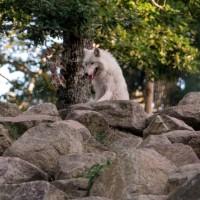loup gris langue pendante sur un rocher parc de courzieu