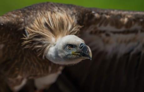 image gros plan vautour rapace