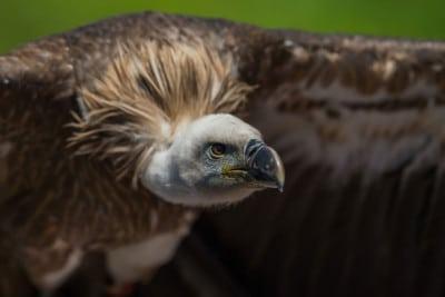 image gros plan vautour rapace parc de courzieu